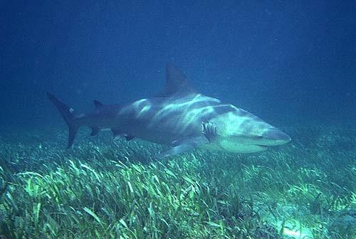 bull shark attack. Bull sharks