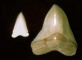 Top 10 größte(=schwerste)Meeresraubitere. Teeth
